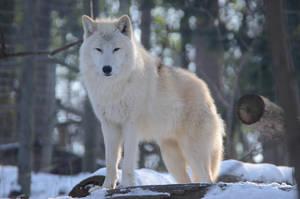 Wolf Winter 10 by Lakela