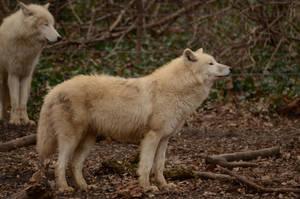 White Wolf 32 by Lakela