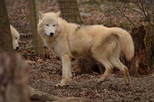 White Wolf 43 by Lakela