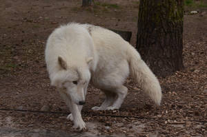 Arctic Wolf 7 by Lakela