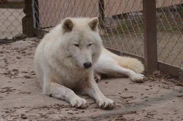 Arctic Wolf 8 by Lakela