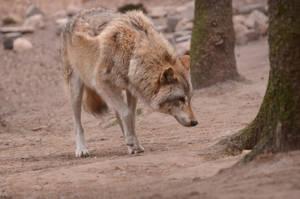 Graywolf 2 by Lakela