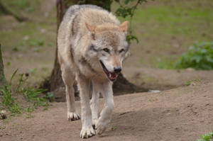 Graywolf 4 by Lakela