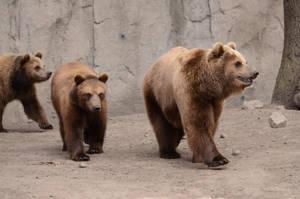 Bear 1 by Lakela