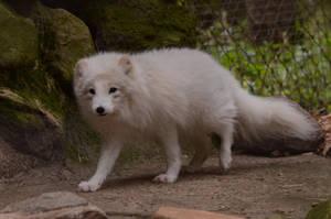 Fox 2 by Lakela