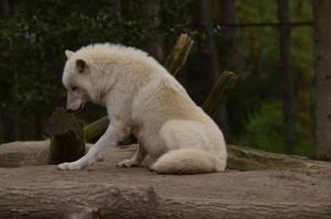 Arctic Wolf 15 by Lakela