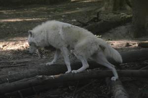 New White Wolves 5 by Lakela