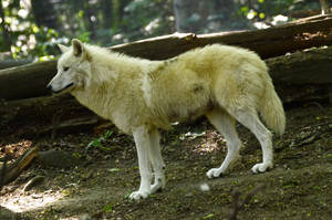 New White Wolves 8 by Lakela