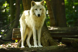 New White Wolves 9 by Lakela