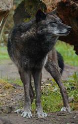 New Black Wolves 13 by Lakela