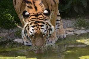Tiger in Water 4 by Lakela