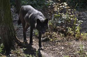 WSC Timber Wolf 1 by Lakela