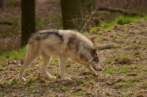 WSC Wolf 2 by Lakela