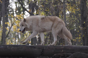 New Whites Wolves 11 by Lakela