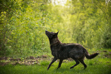Dutch Shepherd Dog 1 by Lakela