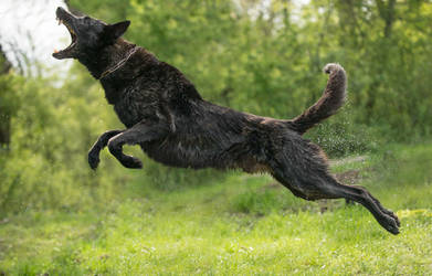 Dutch Shepherd Dog 2 by Lakela