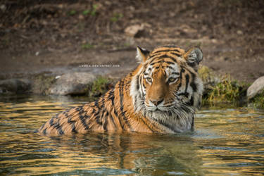 Tiger 29 by Lakela