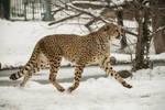 Cheetah 12 by Lakela
