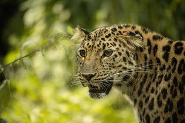 Leopard 2 by Lakela