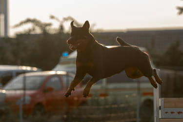 Rottweiler 1 by Lakela
