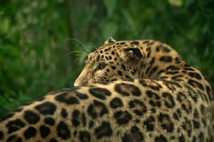 Leopard 4 by Lakela