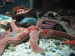 star fish by gurukitty