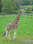 Giraffe 2 by gurukitty