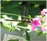 Dragonfly by gurukitty