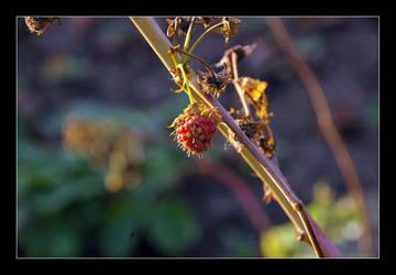 Berry by carma-n