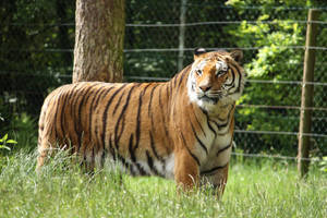 Tiger 2 by Civetta70
