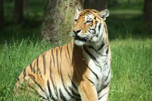 Tiger 5 by Civetta70