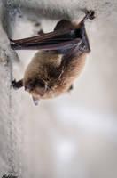 A Bat by nakkimo