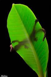 Gecko on a leaf by nakkimo