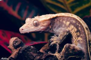 Crested Gecko male by nakkimo