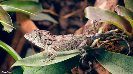 Cuban false chameleon by nakkimo