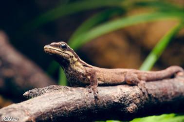 Lygodactylus mombasicus by nakkimo