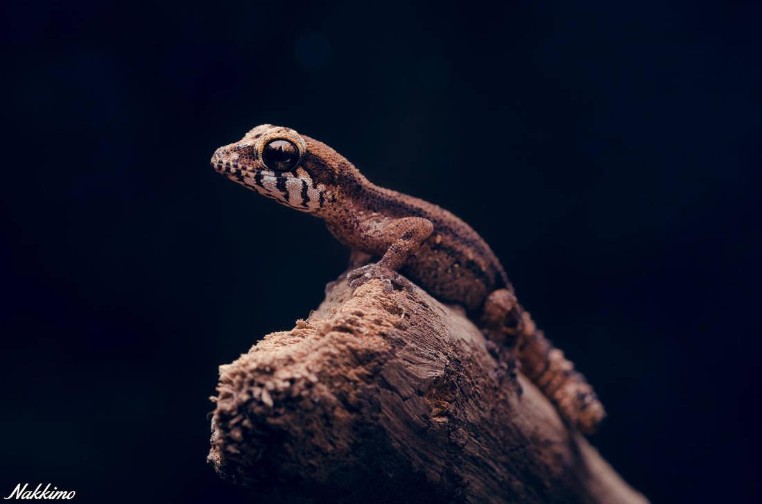Paroedura Androyensis by nakkimo