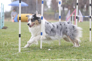 USDAA Agility Trial 5 by Deliquesce-Flux