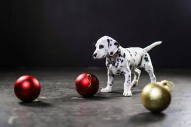 Dalmatian Puppy I by Deliquesce-Flux
