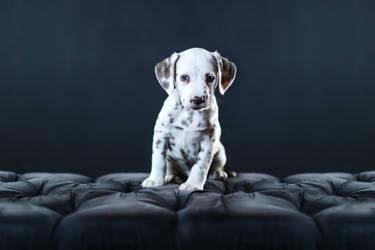 Dalmatian Puppy II by Deliquesce-Flux