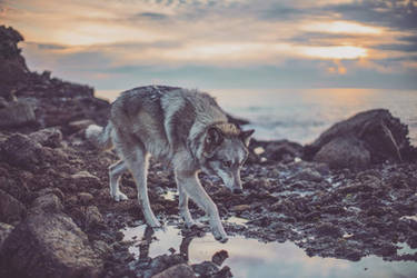 Nova the Wolf II by Deliquesce-Flux