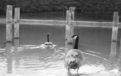 ducks by galaxypurple