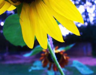 sun's flower by galaxypurple