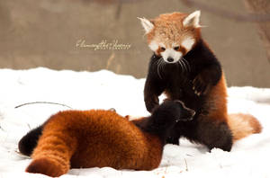 Red Panda: Attack by Flame-of-the-Phoenix