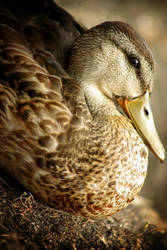 just a duck by zoupa