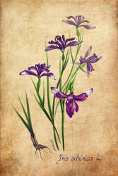 Iris sibirica by zersen