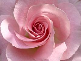 Spiral Rose by MelATCK