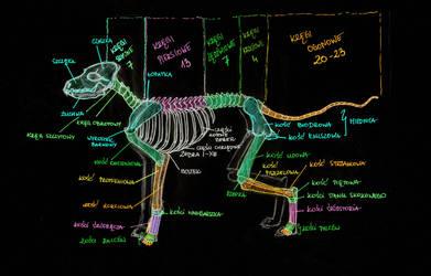 Dog Anatomy: Skelton by Yui-the-Echidna