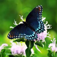 'Blue Butterfly' by masscreation