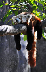 Lazy Panda by masscreation